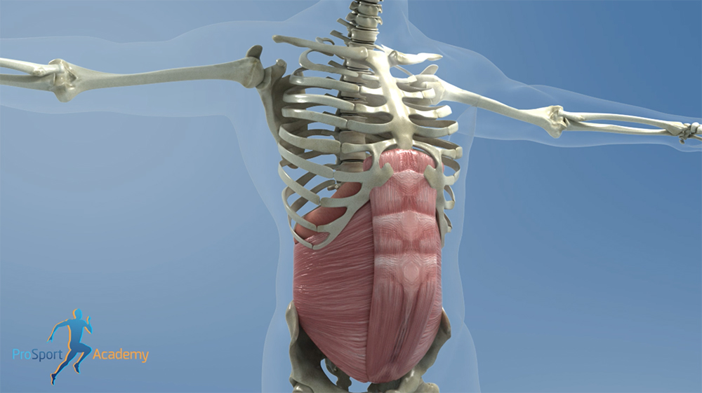 The Diaphragm flattening as the transverse abdominis and rectus abdominis expand