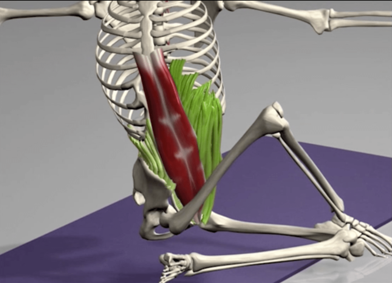 The influence of external and internal obliques on thoracic mobility. Images provided by Muscle & Motion