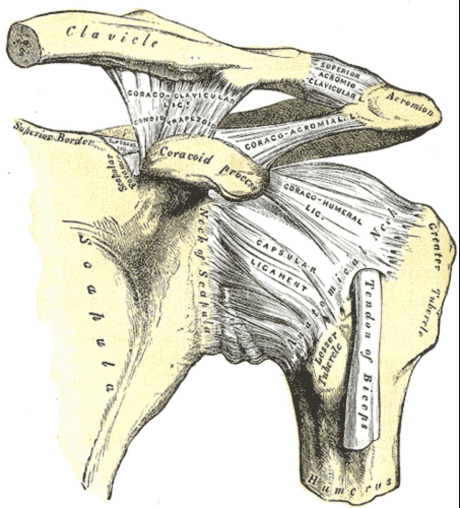 Acromioclavicular joint in physiotherapy